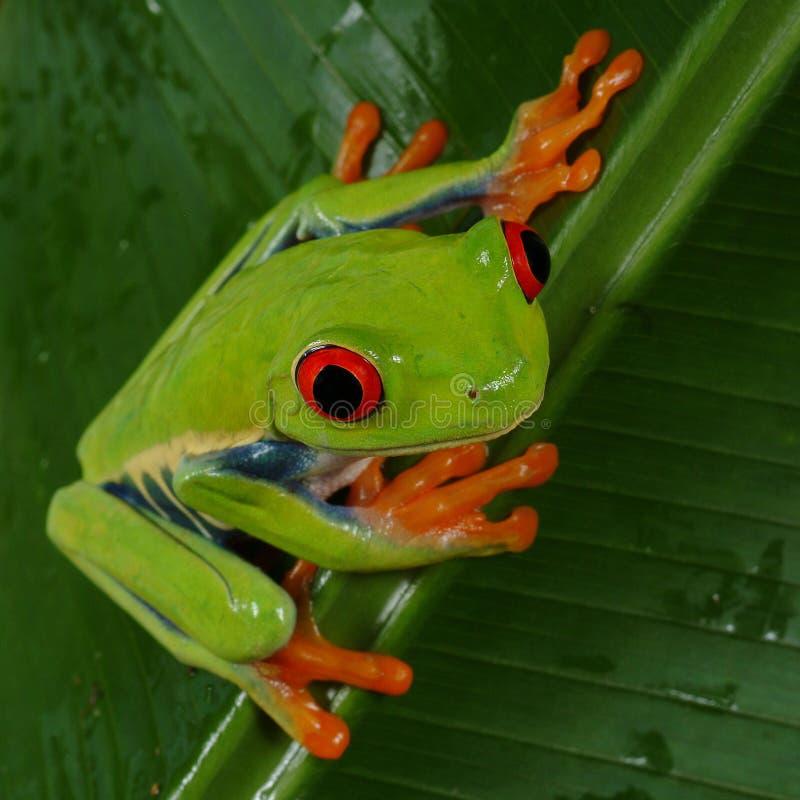 Grenouille d'arbre rouge d'oeil images libres de droits