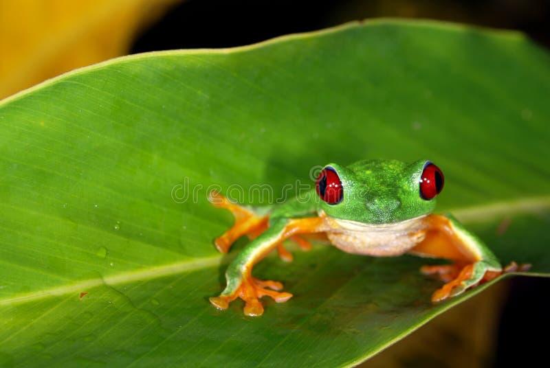 Grenouille d'arbre rouge d'oeil sur une lame. image stock