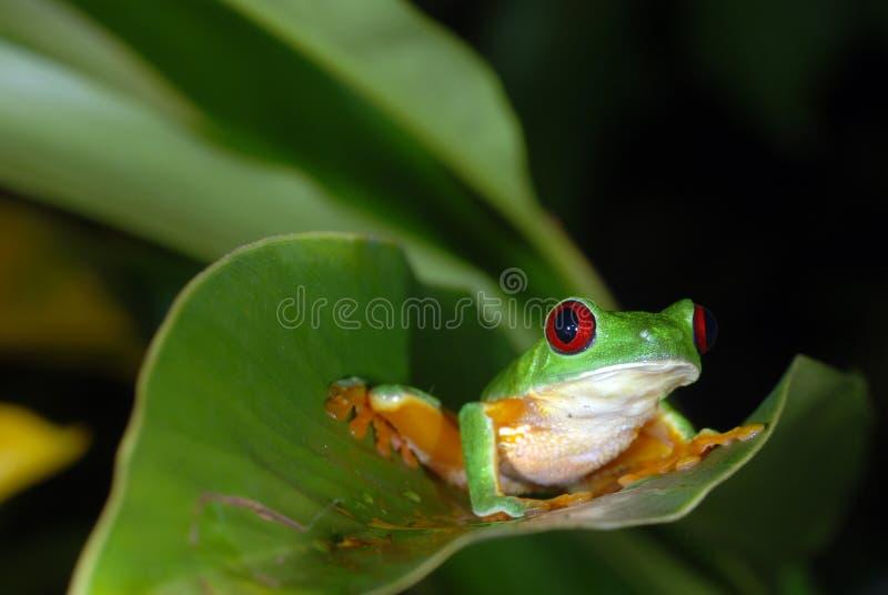 Grenouille d'arbre rouge d'oeil sur une lame. photographie stock