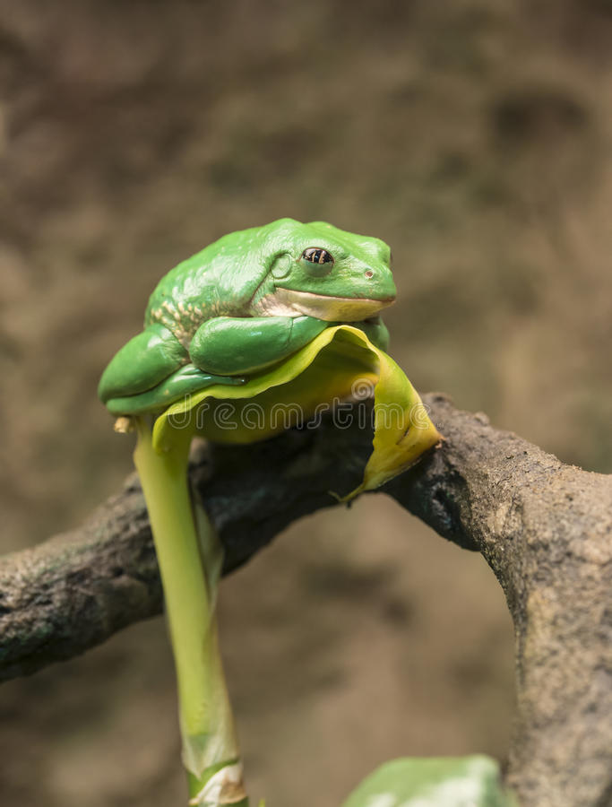 Grenouille d'arbre trapue mexicaine images stock