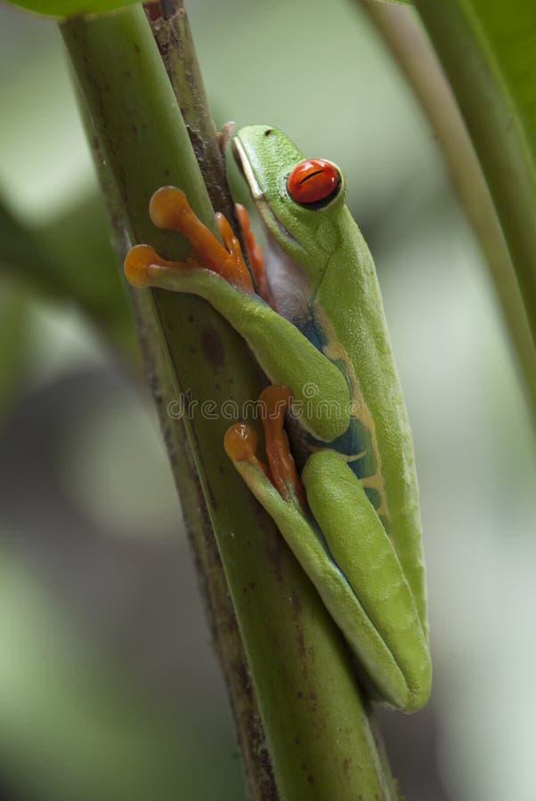 Grenouille d'arbre de Rican de côte image libre de droits