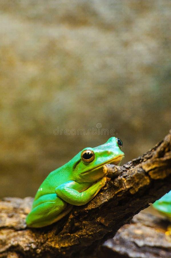 Grenouille d'arbre verte photo libre de droits