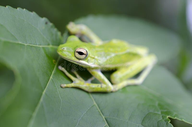 Grenouille d'arbre verte américaine sur une feuille de Sweetgum, Hyla cinerea images libres de droits