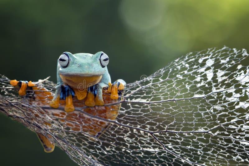 Grenouille d'arbre, grenouille volante, grenouille d'arbre de Javan photos libres de droits