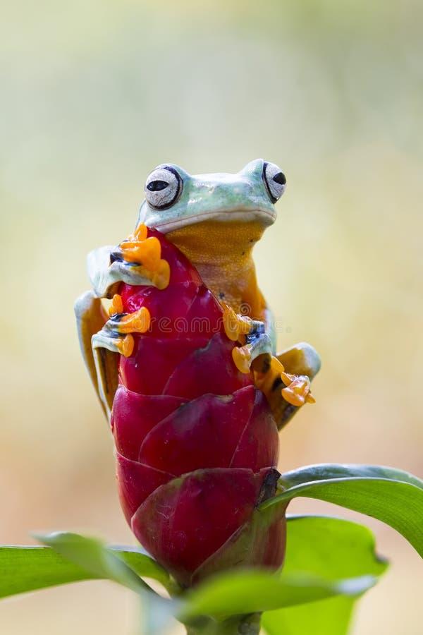 Grenouille d'arbre, grenouille volante, grenouille d'arbre de Javan photo stock