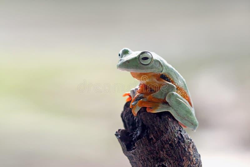 Grenouille d'arbre, grenouille volante, grenouille d'arbre javan, Wallace photos stock