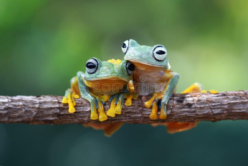 Grenouille d'arbre, grenouille volante sur la branche photos stock