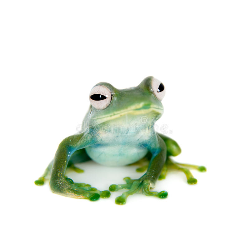 Grenouille d'Emerald Tree sur le fond blanc photographie stock