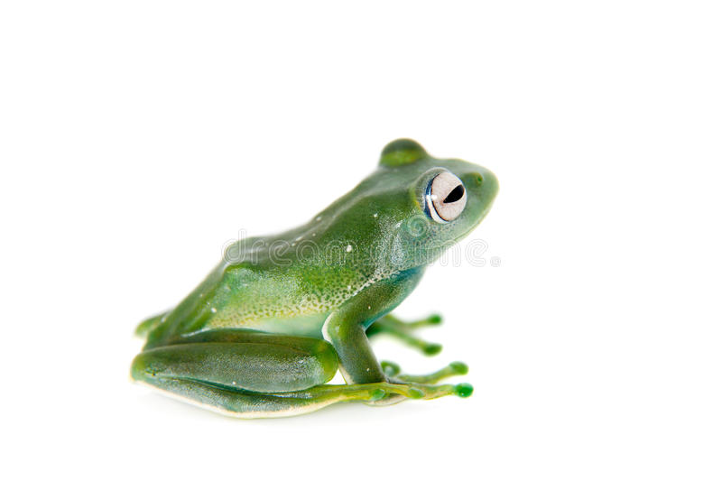 Grenouille d'Emerald Tree sur le fond blanc photos stock
