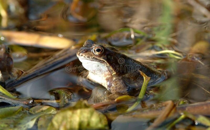 Grenouille dans l'étang #1 photos stock