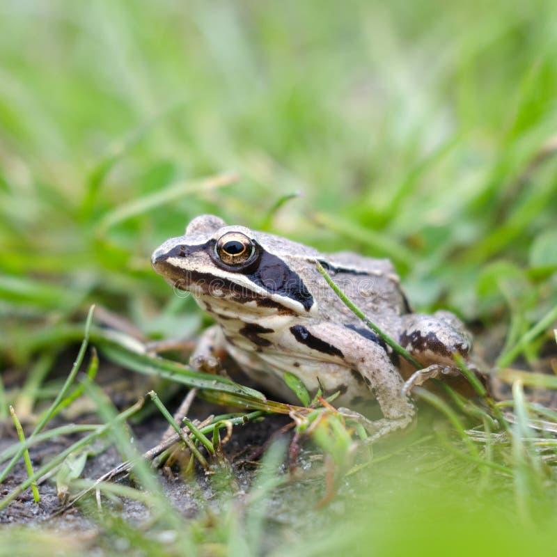 Grenouille dans l'herbe image stock