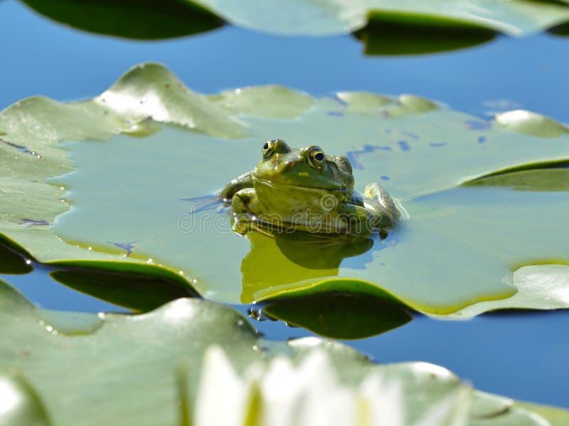 Grenouille de marais parmi des waterlilies dans l'étang photographie stock libre de droits