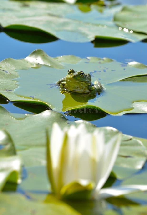 Grenouille de marais parmi des waterlilies dans l'étang image stock
