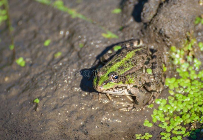 Grenouille de marais sur le lac photographie stock