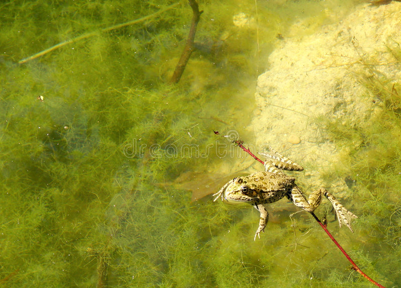 Grenouille de natation photo libre de droits