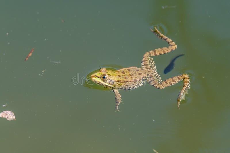 Grenouille de natation avec le têtard dans un étang photo libre de droits