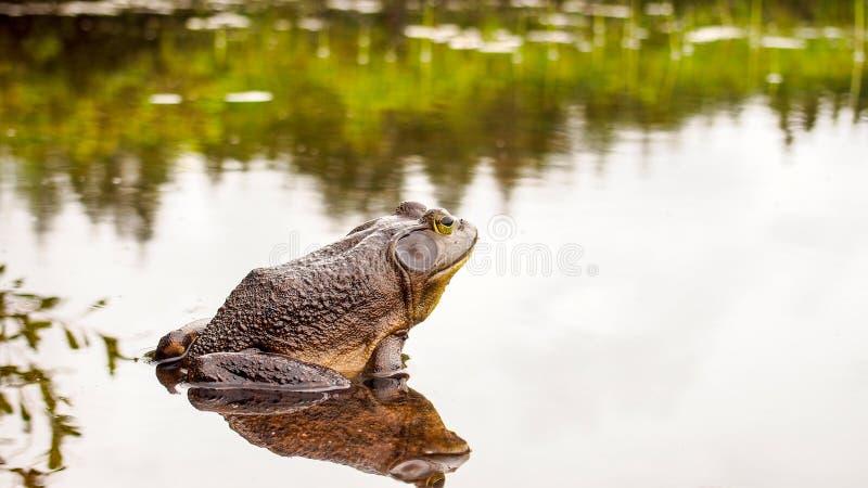 Grenouille de Taureau qui détend au bord d'un lac photos libres de droits