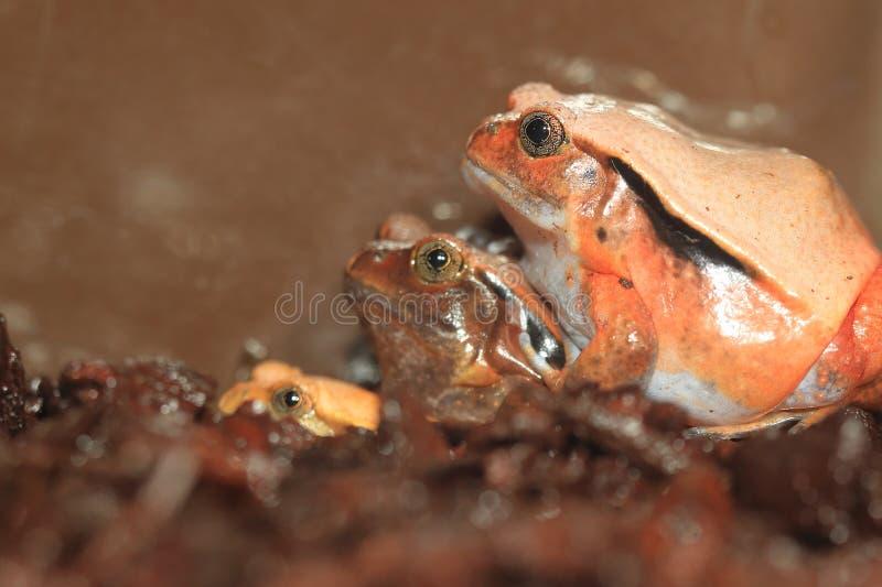 Grenouille de tomate du Madagascar images stock