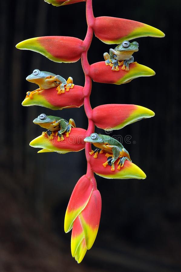 grenouille de vol, grenouilles, grenouille d'arbre, amphibies, animaux, macro, macro photographie, photographie animale, photos d images stock