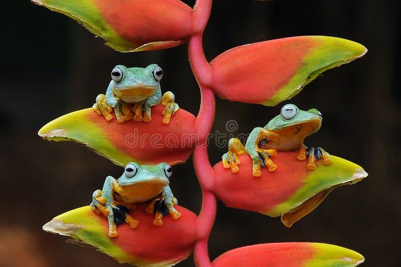 grenouille de vol, grenouilles, grenouille d'arbre, amphibies, animaux, macro, macro photographie, photographie animale, photos d photographie stock libre de droits