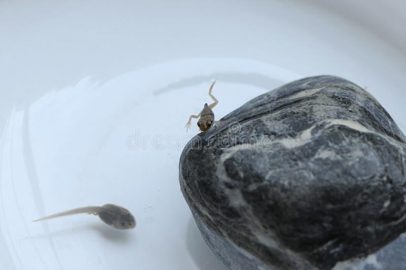 Grenouille et tadpole minuscules images stock