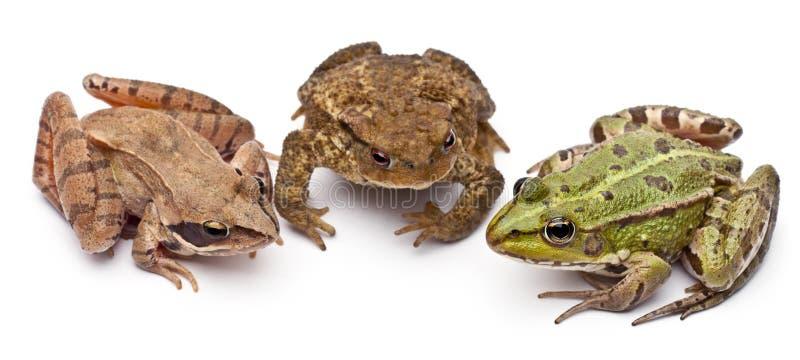 Grenouille européenne commune ou grenouille comestible, Rana kilolitre. photos libres de droits
