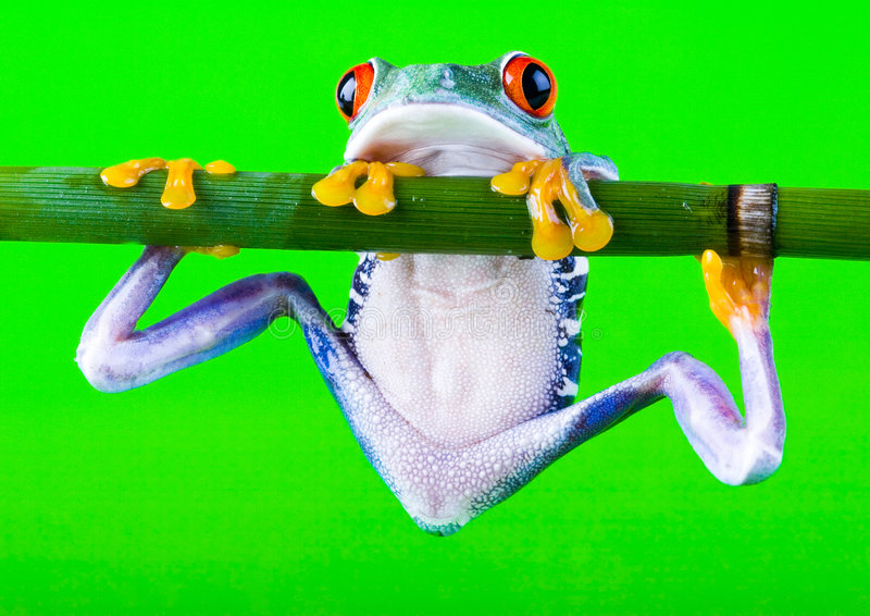 Grenouille folle images stock