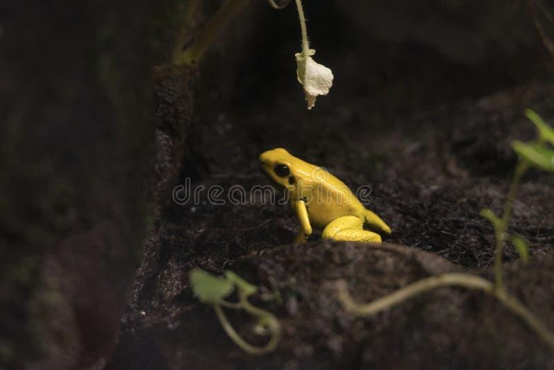 Grenouille jaune images stock