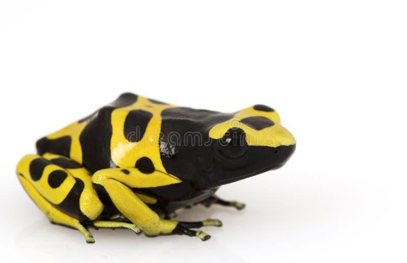 Grenouille jaune de flèche de poison photo libre de droits