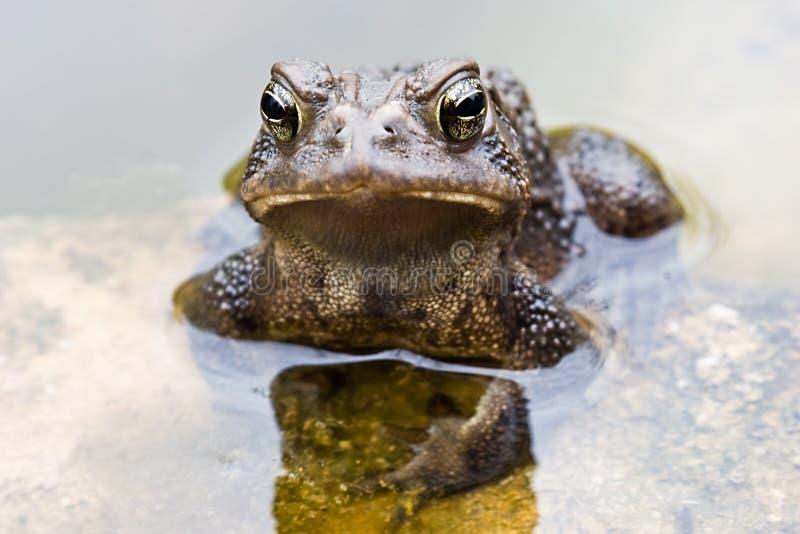 grenouille mugissante photo stock
