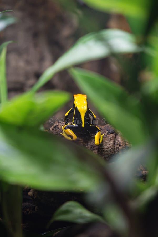Grenouille noire et jaune de dard de poison photos libres de droits
