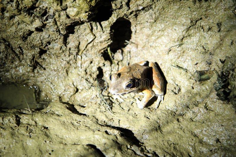 Grenouille pendant la nuit - jonction de Sukau photos stock