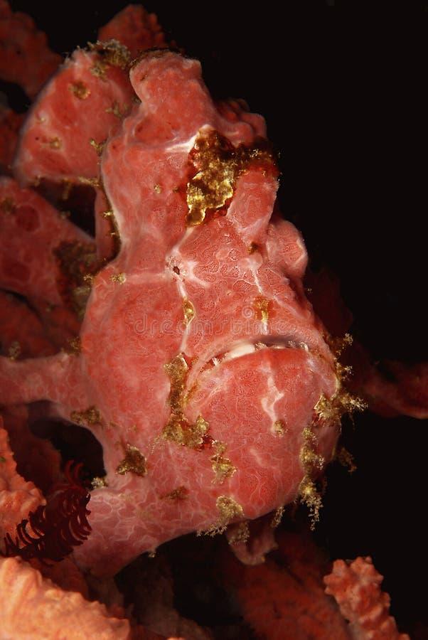 Grenouille-poissons ou lotte de mer image stock