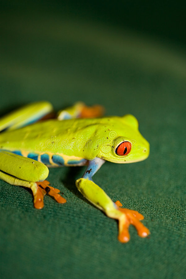 Grenouille Red-eyed photographie stock libre de droits