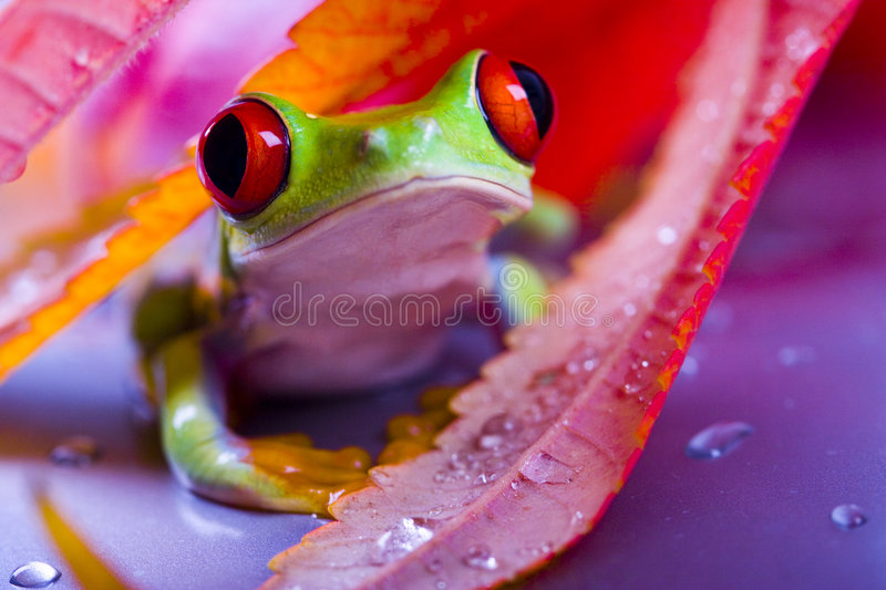 Grenouille rouge photographie stock