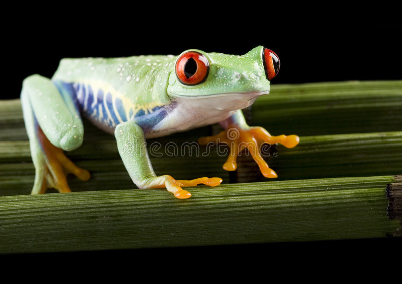 Grenouille rouge photo stock
