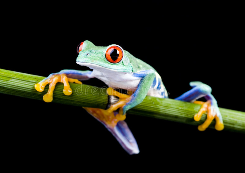 Grenouille rouge image stock
