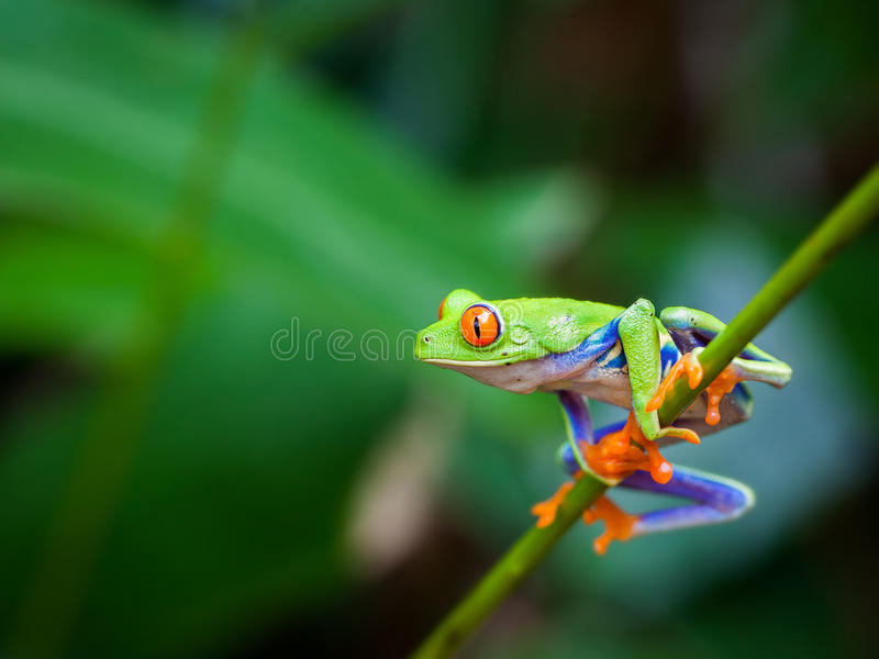 Grenouille rouge d'oeil photo stock