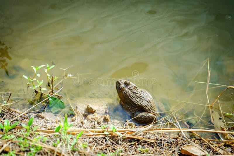 Grenouille se reposante dans l'étang image stock