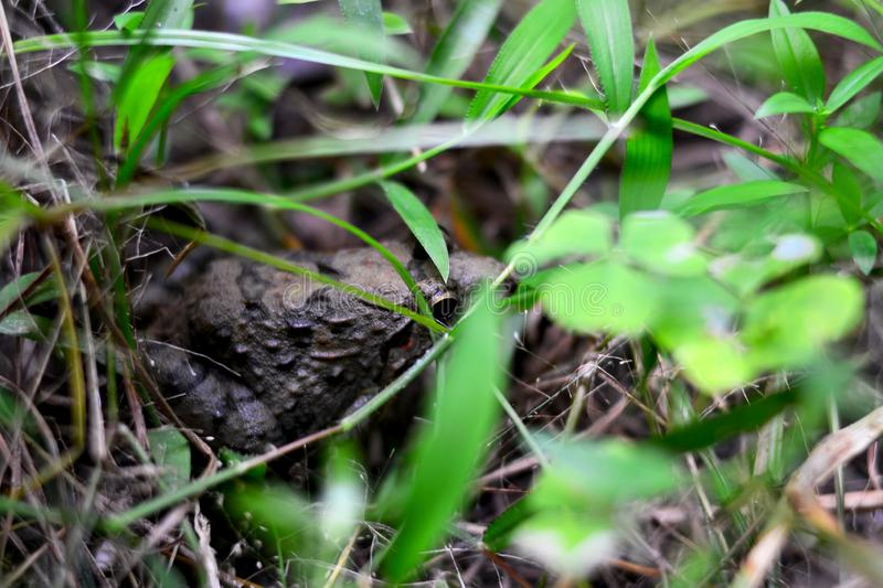 Grenouille sur l'herbe image stock