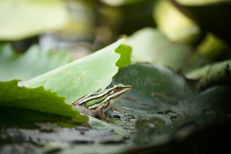 Grenouille sur la feuille de lotus photographie stock libre de droits