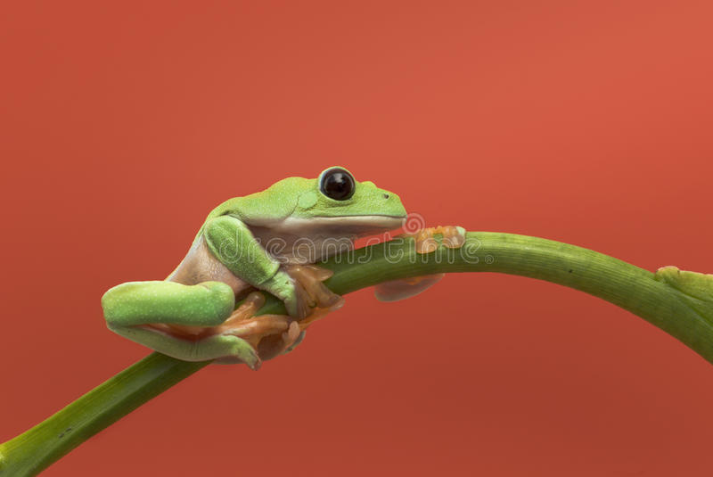 Grenouille sur le fond orange images stock