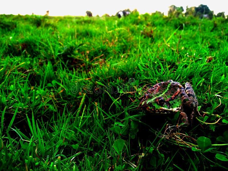 Grenouille sur le pré vert image stock