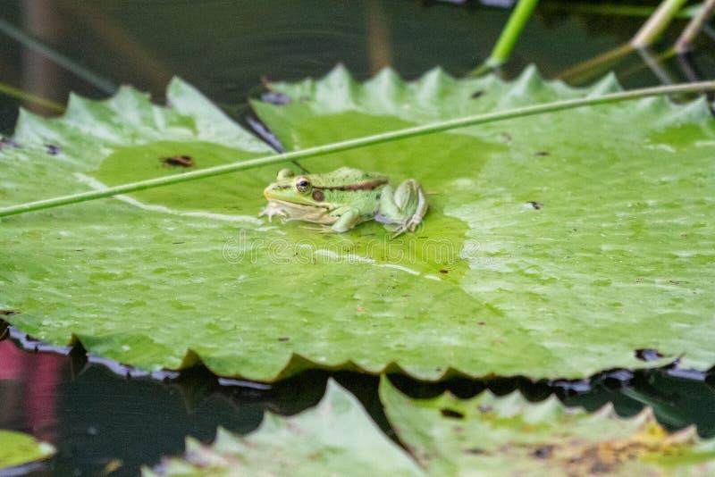 Grenouille timide d'étang de vert de poids de soin images stock