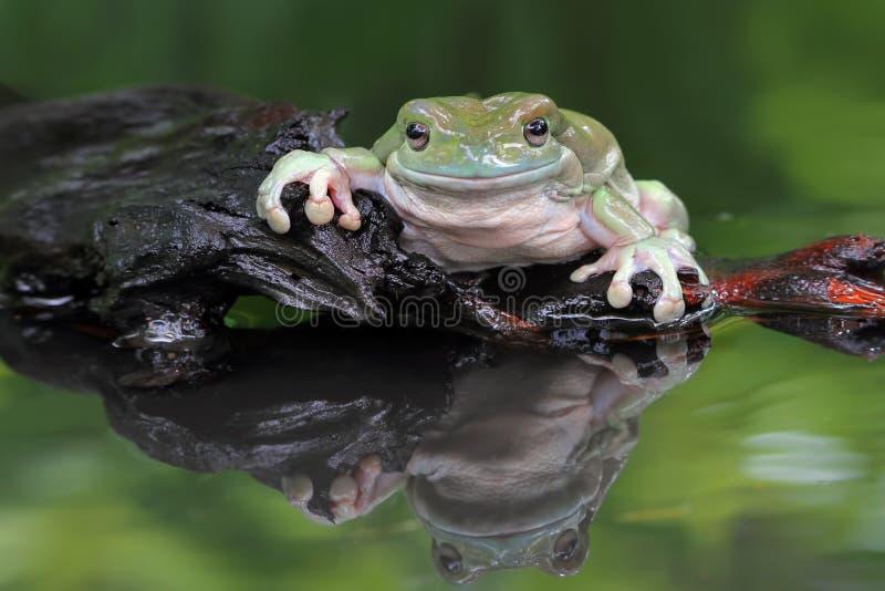 Grenouille trapue, grenouille d'arbre, grande grenouille trapue photo libre de droits