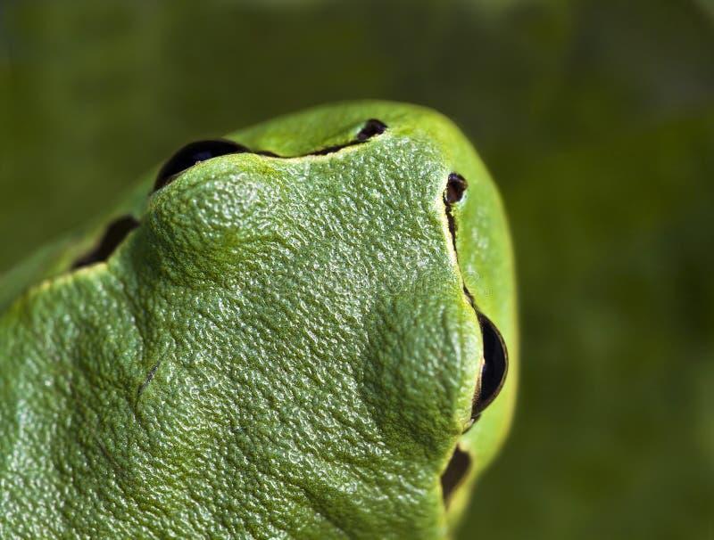 Grenouille verte image stock