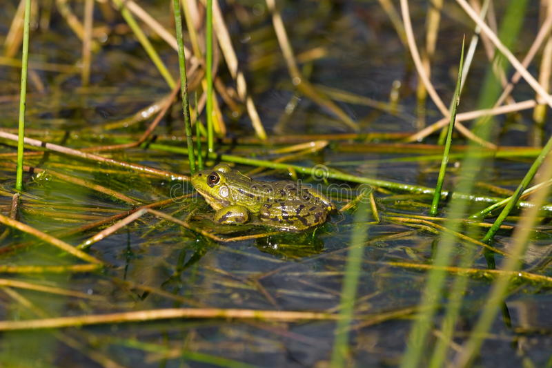 Grenouille verte dans le lac de marais images libres de droits