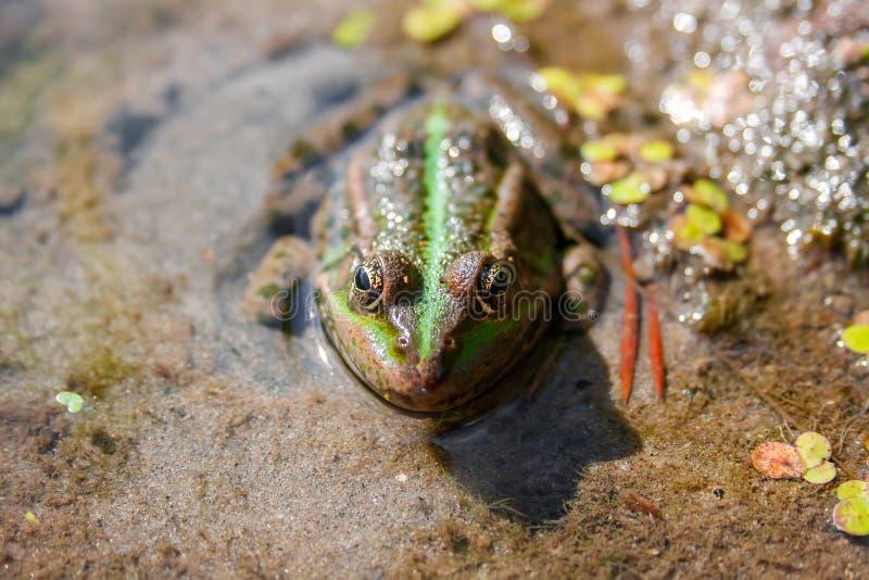 Grenouille verte de Brown dans une vue franche de fin de marais photographie stock