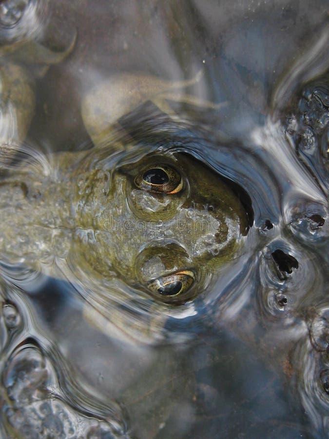 Grenouille verte piaulant de l'eau claire images libres de droits