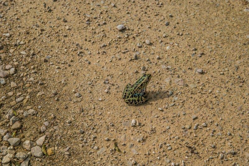 Grenouille verte se reposant sur la route photos libres de droits